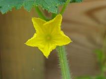 Bloeiende en rijpende komkommers Royalty-vrije Stock Fotografie