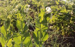 Bloeiende Erwten die in de tuin groeien stock fotografie