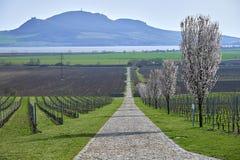 Bloeiende fruitbomen, weg tussen druivenkassen in Moravië stock foto's
