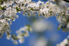 Bloeiende fruitboom Royalty-vrije Stock Afbeelding