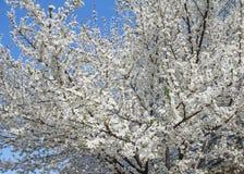 Bloeiende fruitboom Stock Foto's