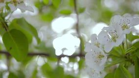 Bloeiende fruitboom in de tuin stock footage