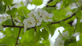 Bloeiende fruitboom in de tuin stock video
