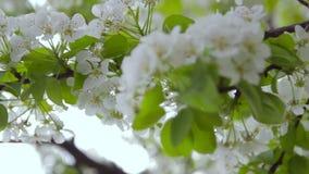Bloeiende fruitboom in de tuin stock videobeelden
