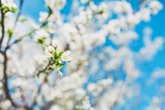 Bloeiende fruitboom met witte bloemen in de lentetuin De de lentetijd… nam bladeren, natuurlijke achtergrond toe Royalty-vrije Stock Foto