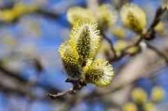 Bloeiende geitwilg (Salix-caprea) Royalty-vrije Stock Afbeeldingen