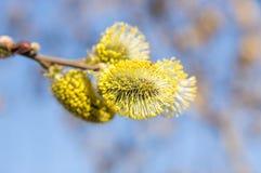 Bloeiende geitwilg (Salix-caprea) in de lente Stock Fotografie
