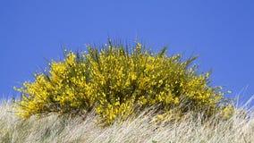 Bloeiende gele bezem stock fotografie