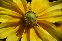 Bloeiende gele bloem stock fotografie