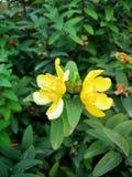 Bloeiende gele bloem twee op een groene achtergrond van bladeren stock afbeelding