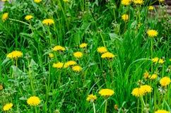 Bloeiende gele bloemen op een groen gras stock foto's