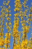 Bloeiende gele forsythiastruik tegen een duidelijke blauwe hemel Stock Afbeelding