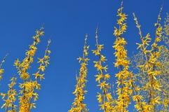 Bloeiende gele forsythiastruik tegen een duidelijke blauwe hemel Stock Foto