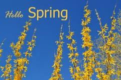 Bloeiende gele forsythiastruik tegen een duidelijke blauwe hemel Stock Fotografie