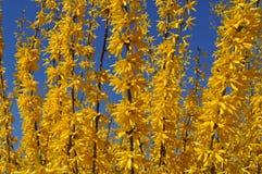 Bloeiende gele forsythiastruik tegen een duidelijke blauwe hemel Stock Afbeeldingen