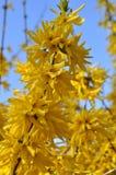 Bloeiende gele forsythiastruik tegen een duidelijke blauwe hemel Stock Foto's