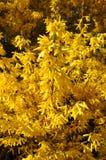 Bloeiende gele forsythiastruik tegen een duidelijke blauwe hemel Royalty-vrije Stock Afbeeldingen