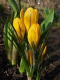 Bloeiende gele krokussen Stock Foto