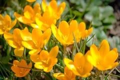 Bloeiende gele krokussen onder helder zonlicht in vroeg de Lentebos stock foto