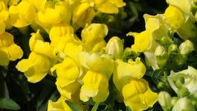Bloeiende gele Leeuwebekbloemen Royalty-vrije Stock Afbeelding