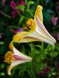 Bloeiende gele lelies met een paar dalingen op de bloemblaadjes na de regen royalty-vrije stock foto's