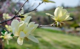 Bloeiende gele magnolia ?Daphne ?in de lente royalty-vrije stock afbeeldingen