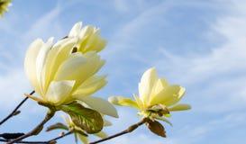 Bloeiende gele magnolia ?Daphne ?in de lente royalty-vrije stock fotografie