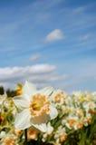 Bloeiende Gele narcis Stock Afbeeldingen