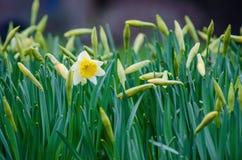 Bloeiende Gele narcis Stock Afbeelding