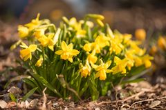 Bloeiende gele narcissen in de tuin in de lente royalty-vrije stock fotografie