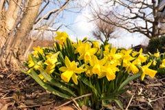 Bloeiende gele narcissen in de tuin in de lente royalty-vrije stock afbeeldingen