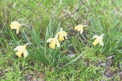 Bloeiende gele narcissen die in natuurlijke tuin groeien Gele narcissen in de lente Royalty-vrije Stock Afbeeldingen