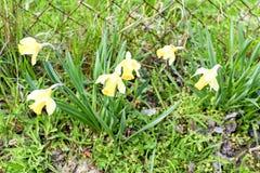 Bloeiende gele narcissen die in natuurlijke tuin groeien Gele narcissen in de lente Royalty-vrije Stock Fotografie