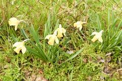 Bloeiende gele narcissen die in natuurlijke tuin groeien Gele narcissen in de lente Stock Foto's