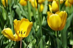 Bloeiende gele tulpen Stock Foto