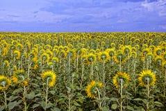 Bloeiende gele zonnebloemen tegen een blauwe hemel met wolken Royalty-vrije Stock Foto