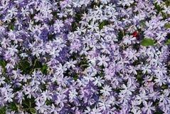 Bloeiende Geranium Royalty-vrije Stock Foto's