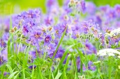 bloeiende geranium stock fotografie