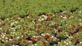 Bloeiende geranium in een grote moderne serre De geranium bloeit close-up Bloeiende geraniums in potten Heel wat het bloeien stock videobeelden