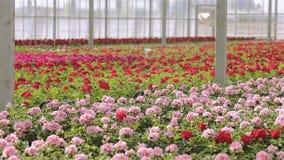 Bloeiende geranium in een grote moderne serre De geranium bloeit close-up Moderne serre Serre met glas stock video