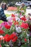 Bloeiende geraniumbloemen Royalty-vrije Stock Foto's