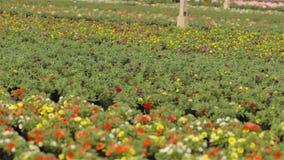 Bloeiende geraniums in potten Heel wat bloeiende geraniums De geranium bloeit close-up Bloeiende geranium in grote modern stock footage