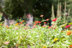 Bloeiende goudsbloemen tagetes in de tuin stock afbeeldingen