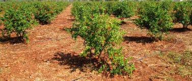 Bloeiende Granaatappelbomen Royalty-vrije Stock Afbeelding