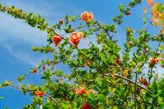 Bloeiende granaatappelboom Royalty-vrije Stock Afbeelding