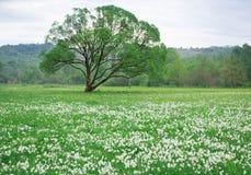 Bloeiende groene de lenteweide van witte narcissuses met eenzaam o stock afbeeldingen