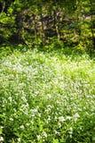 Bloeiende grote bitter-tuinkers amara Cardamine stock foto's