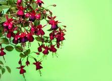 Bloeiende hangende tak in schaduwen van donkerrode fuchsia op groene B Royalty-vrije Stock Fotografie