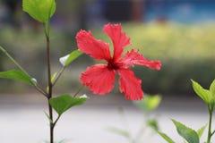 Bloeiende Hawaiiaanse hibiscus Verse liefde, subtiele schoonheid stock afbeeldingen