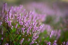 Bloeiende heide in het bos, DOF Stock Afbeeldingen